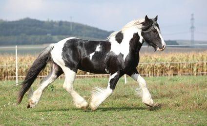Pferdeversicherung für Tinker