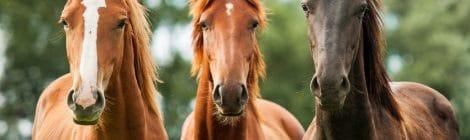 Pferdeversicherung für Hannoveraner
