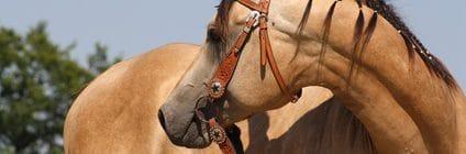 Pferdeversicherung für Quarter Horse