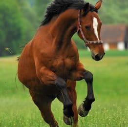 Pferdeversicherung für Trakehner