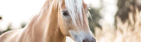 Pferdeversicherung für Haflinger